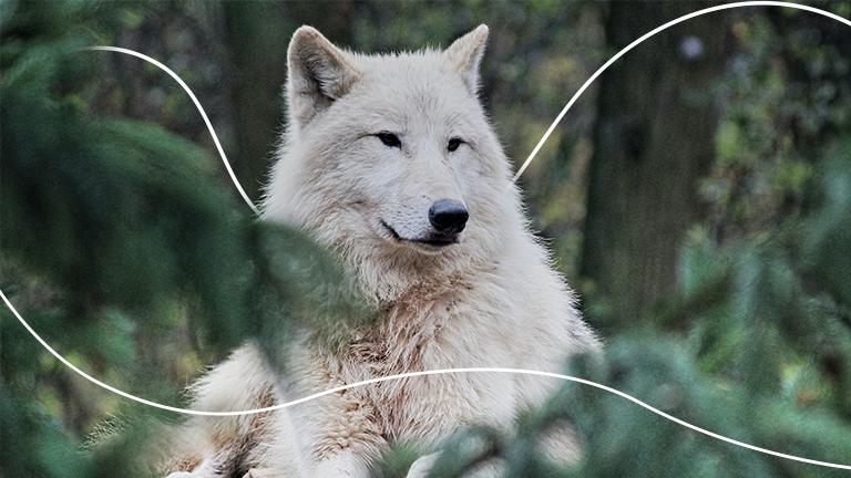 um lobo branco sentado no meio de plantas em uma floresta representando a liderança silenciosa